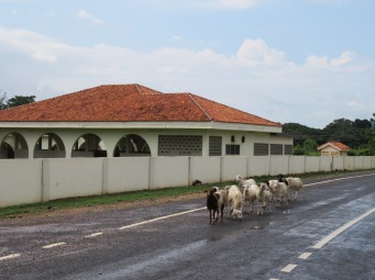 Herd of village goats stolls outside the academy